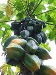 Papayer des montagnes (carica pubescens)