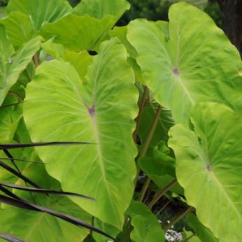 Colocasia esculenta elena