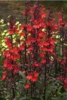 Lobelia cardinal burgundy