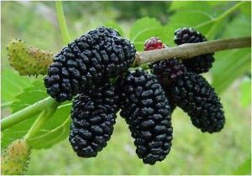 Mûrier Morus alba giant fruit