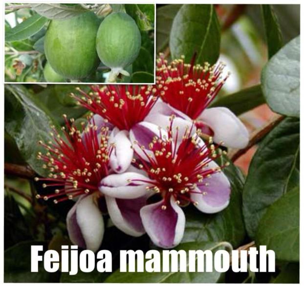 Feijoa autofertile 'Mammouth'