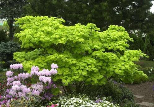 Acer palmatum shirasawanum aureum
