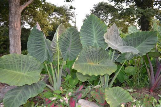Colocasia maximus gigante