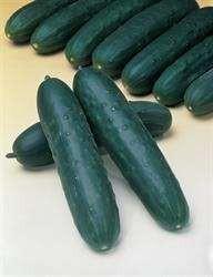 Concombre tanja