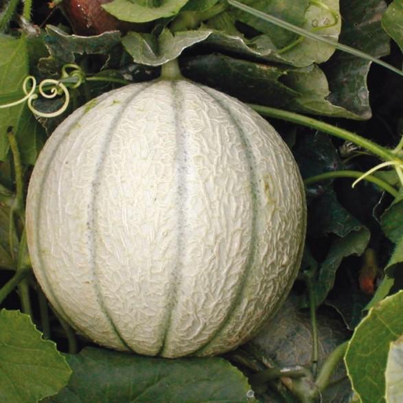Melon Sivan