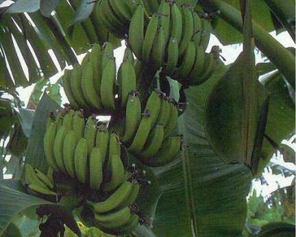 Musa dwarf Goldfinger (bananier fruitier)