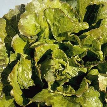 Salade laitue batavia carmen