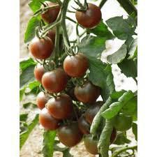 Tomates cerises black cherry