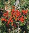 Tomate cerise sweetbaby