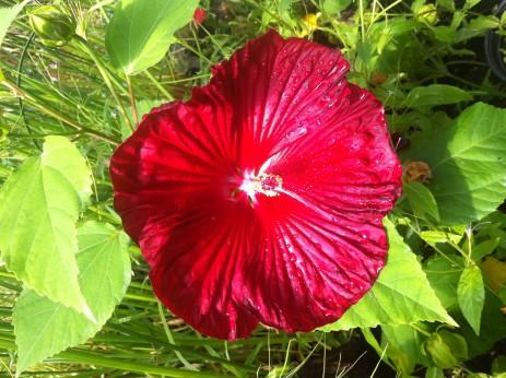 Hibiscus Miranda