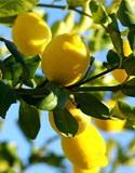 Agrumes et fruitiers exotiques