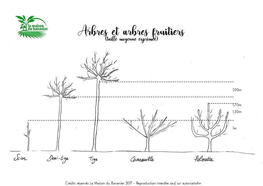 Taille arbres scion quenouille tige