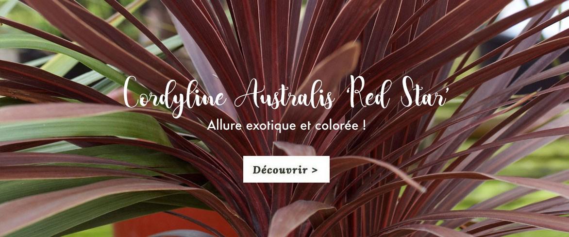 Cordyline Red Star