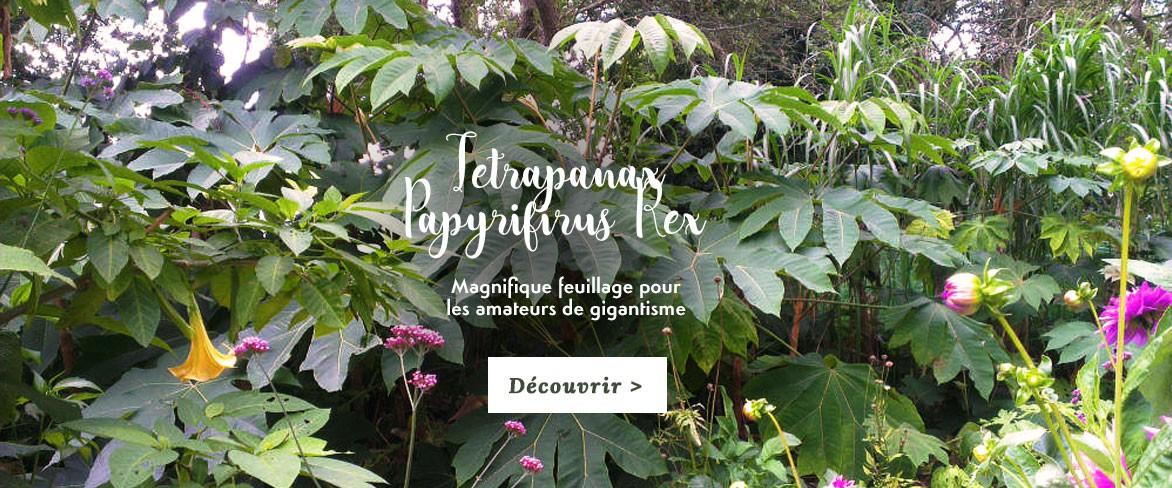 Tetrapanax Papyrifirum Rex, pièce maitresse du jardin